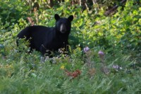 WAWA OPP RESPOND TO NUMEROUS BEAR COMPLAINTS