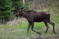 Fined $3,000 : Hunting Cow Moose without a Licence