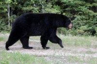 Black Bear Cubs Sent to Sanctuary After Schreiber OPP Respond to Bear in Restaurant