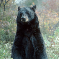 $6,000 in Fines for Shooting Trophy Bear at Dump  $6,000 in Fines for Shooting Trophy Bear at Dump