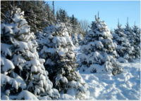 Ontario Celebrates Second Annual Christmas Tree Day